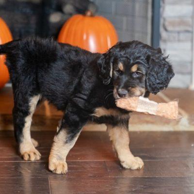 Pinkie Pie - CKC Goldendoodle doggies in Huntsville, Alabama for sale