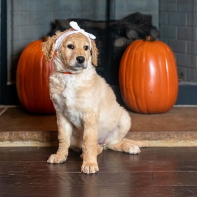 Smokey Jane - CKC Goldendoodle puppy for sale in Huntsville, Alabama