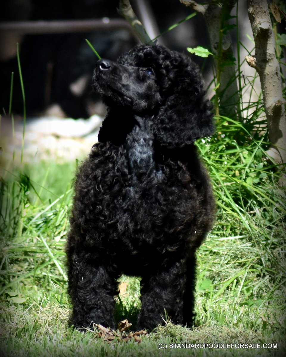 Standard Poodle Puppies for sale near Bend, Oregon