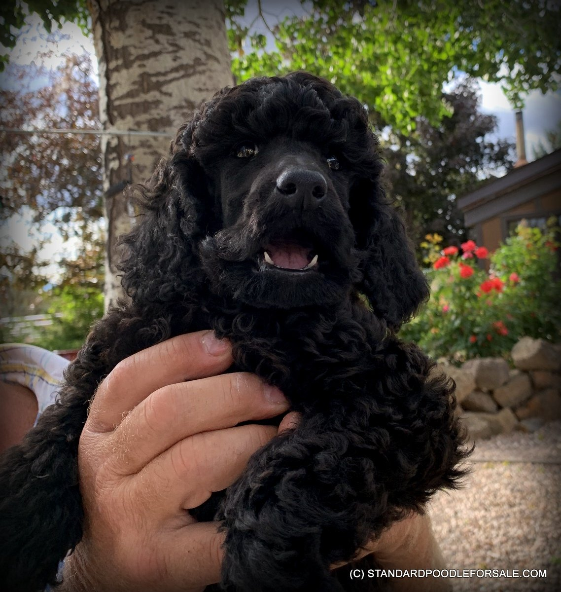 Sebastian Puppy Of Standard Poodle For Sale Near Bend Oregon Vip Puppies