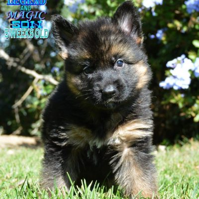 Spades - AKC German Shepherd puppy for sale in Murrieta, California