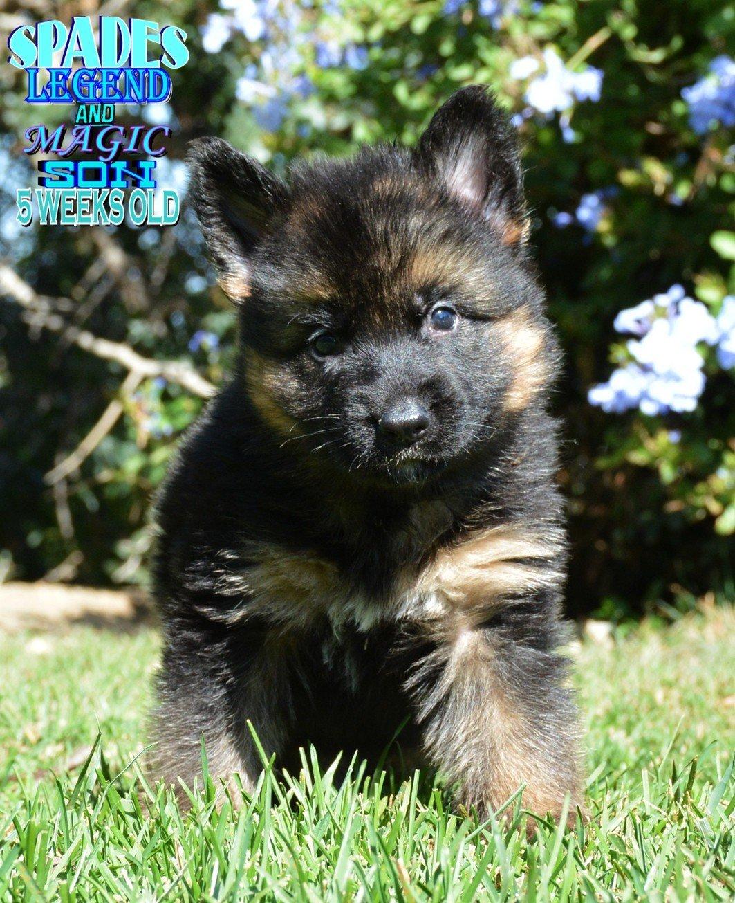 Spades Akc German Shepherd Puppy For