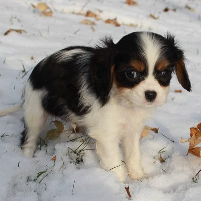 Tanner - AKC Cavalier King Charles Spaniel puppy for sale in New Haven, Indiana