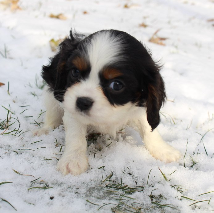 Trevor - AKC Cavalier King Charles Spaniel puppy for sale in New Haven, Indiana