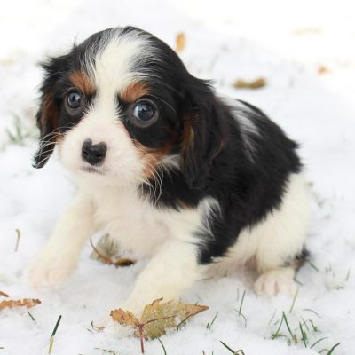 Olivia - AKC Cavalier King Charles Spaniel puppy for sale in New Haven, Indiana