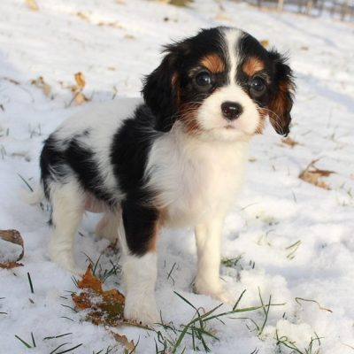 Victoria - AKC Cavalier King Charles Spaniel puppy for sale in New Haven, Indiana