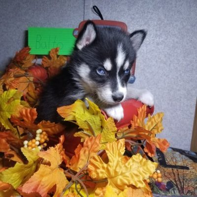 Balto – Siberian Husky puppies for sale in Houghton Lake, Michigan