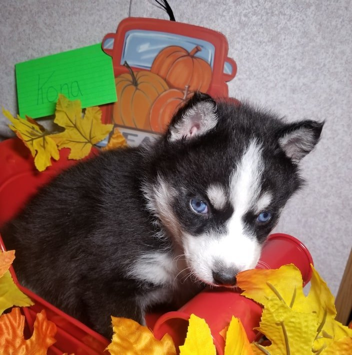 Kona - puppy Siberian Huskies for sale in Houghton Lake, Michigan