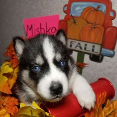 Mishka - Female Siberian Husky puppies for sale in Houghton Lake, Michigan