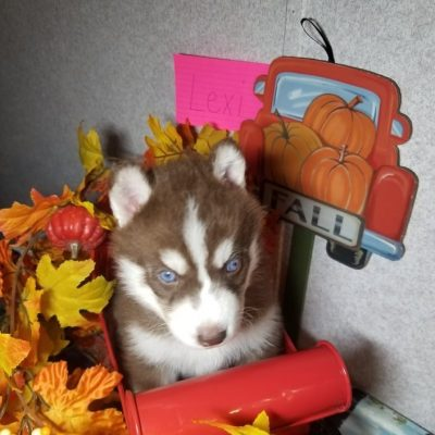 Lexi - female Siberian Husky puppy for sale in Houghton Lake, Michigan