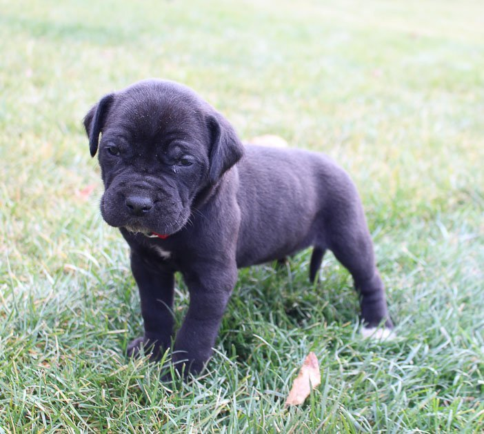 Daisy - doggie of Italian Mastiff for sale at Spencerville, Indiana