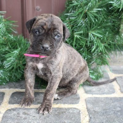 Dashae - Italian Mastiff puppy for sale near Spencerville, Indiana