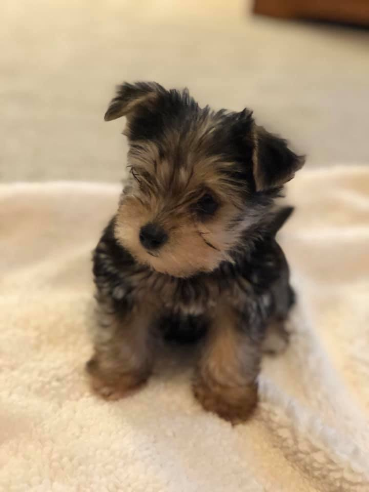 Buddy - male Snorkie dog for sale in Paris, Texas