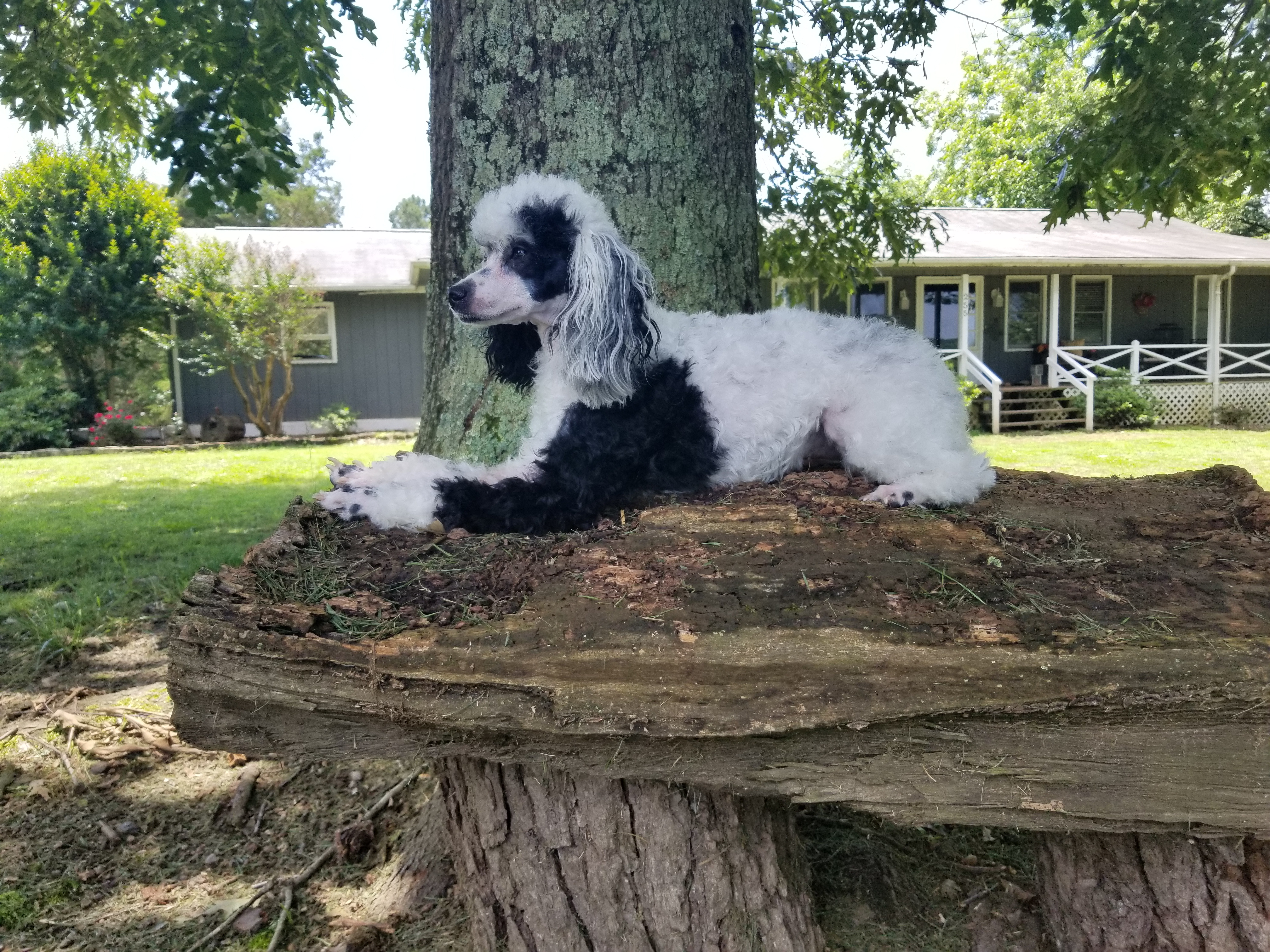 Akc Petite Miniature Poodle Litter Arriving In January
