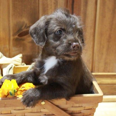 Baxter - Poodle/ Chihuahua mix puppy for sale in Grabill, Indiana