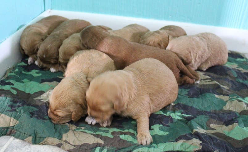 Kourtney - AKC pupper Goldendoodle for sale from Shipshewana, Indiana