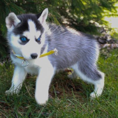 Bella - Siberian Husky puppy for sale in New Haven, Indiana