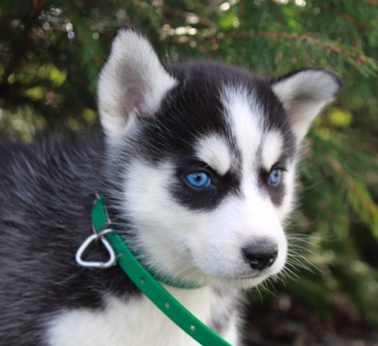 Gem - Female AKC Siberian Husky pupper for sale in New Haven, Indiana