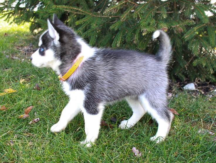 Stardust - Female AKC Siberian Husky dogs for sale near New Haven, Indiana