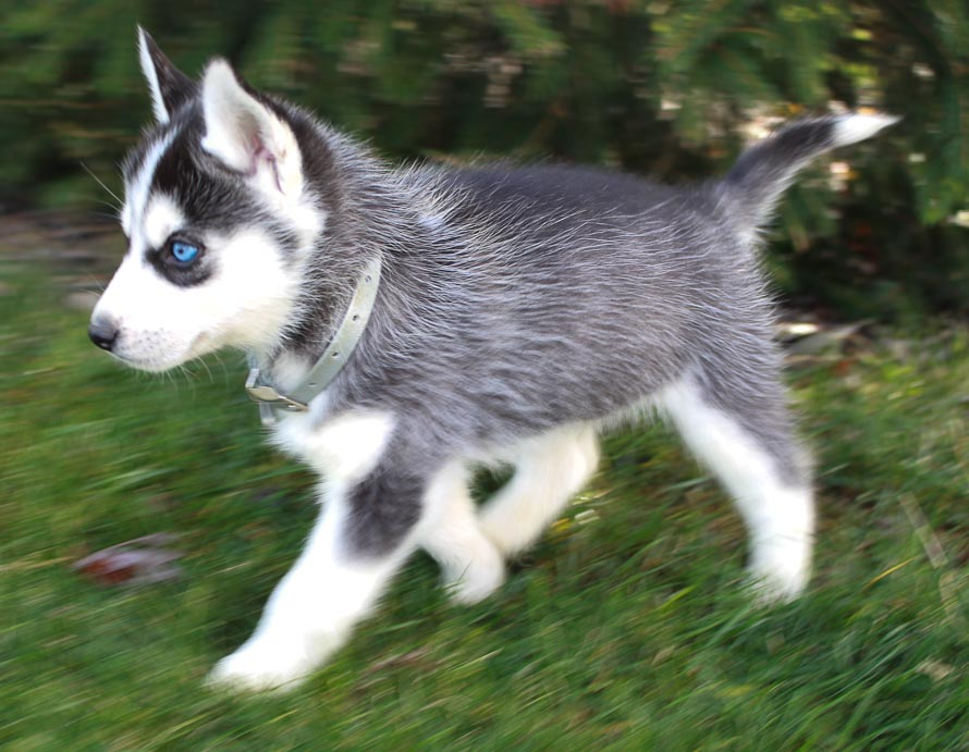Dreamweaver - Male AKC Siberian Husky dogs for sale in New Haven, Indiana