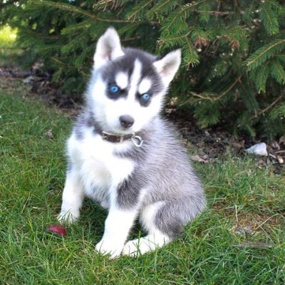 Eclipse - Male Siberian Husky doggies from New Haven, Indiana for sale