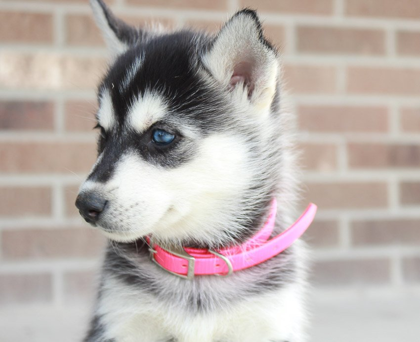 Suzanna - AKC pup Siberian Huskies for sale in New Haven, Indiana