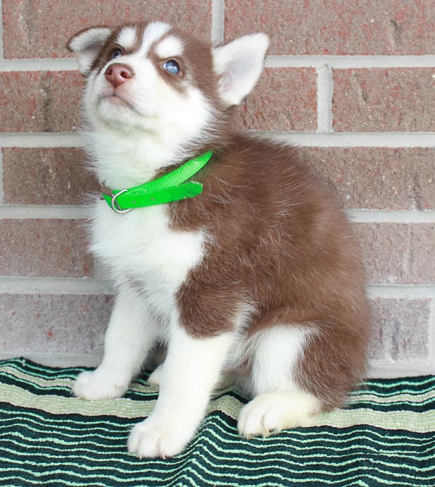 Blaze - Siberian Husky pups for sale in New Haven, Indiana