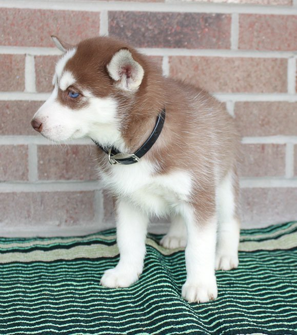 Amber - girl Siberian Husky puppies for sale near New Haven, Indiana