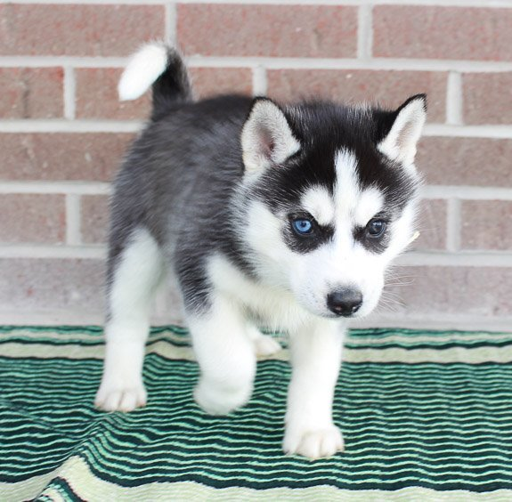 Carma - puppy Siberian Huskies in New Haven, Indiana for sale