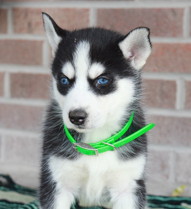 Mia - female Siberian Husky pup from New Haven, Indiana for sale