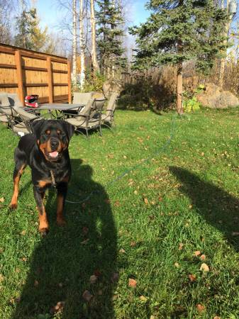 Lucy- AKC Rottweiler puppy for sale in Wasilla, Alaska