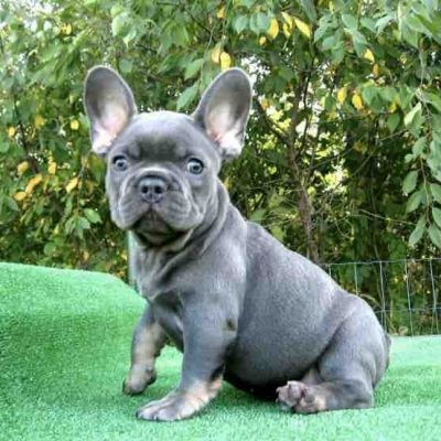 Luna - female puppy French Bulldogs for sale in Brooklyn, New York
