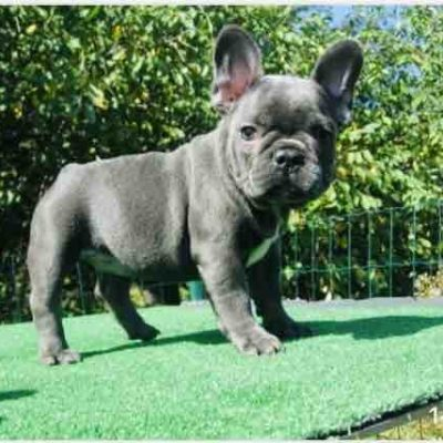 Sima - female French Bulldog puppy for sale in Brooklyn, New York
