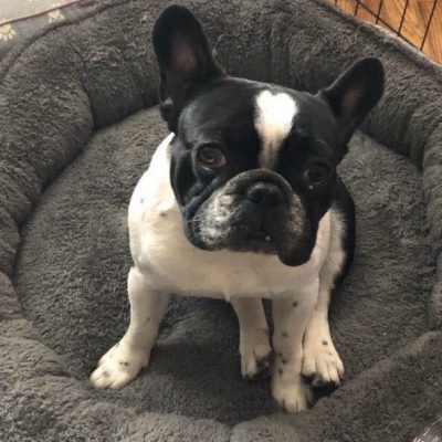 Max - French Bulldog pups for sale near Brooklyn, New York