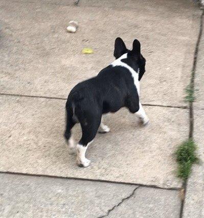 Max - French Bulldog pups for sale near Brooklyn, New York
