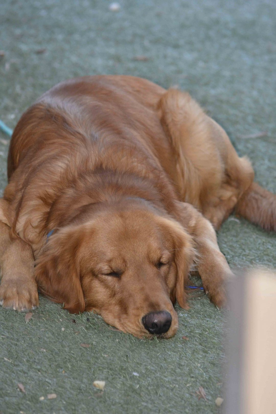 Puppies for sale in Mesa, Arizona - Golden Retriver