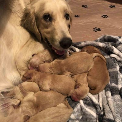 AKC Golden Retriever puppies for sale in Mesa, Arizona