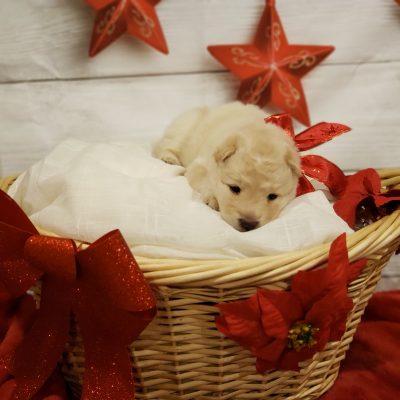 Naomi - puppy Chowskis for sale in Glen Burnie, Maryland