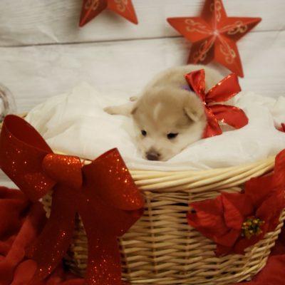 ESAU- Chowski doggies for sale in Glen Burnie, Maryland