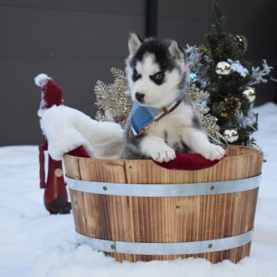 Christmas Litter - Siberian Husky puppy for sale in Chicago, Illinois