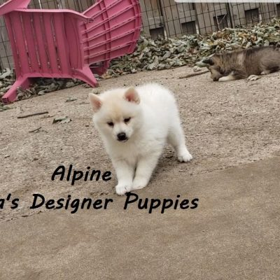 Alpine - Male Pomsky puppy for sale in Pekin, Illinois