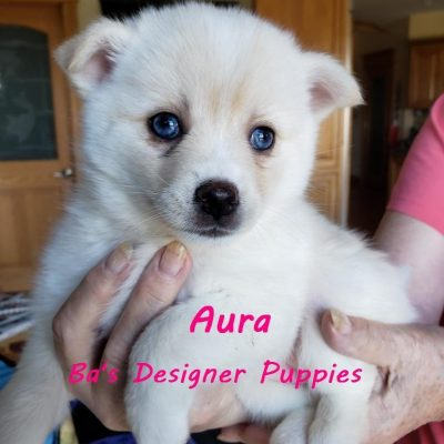 Aura - Female Pomsky for sale in Pekin, Illinois