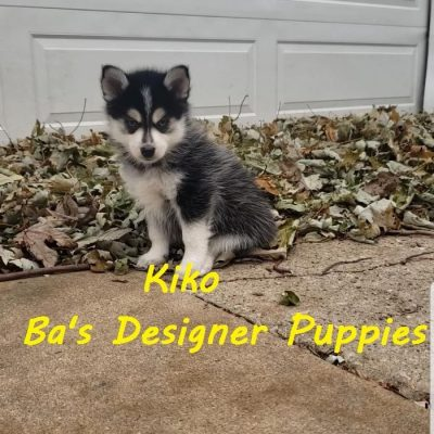 Kiko - Male Pomsky puppy for sale in Pekin, Illinois