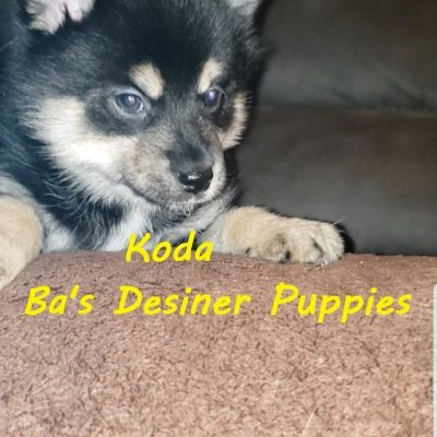 Koda - pet Pomsky puppies for sale in Pekin, Illinois