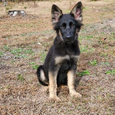 Bella - CKC German Shepherd pup for sale at Fayetteville, Georgia
