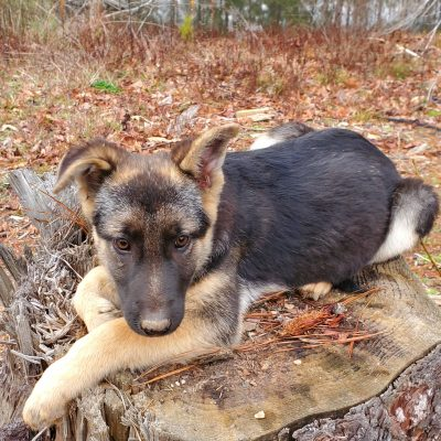 Goldie - CKC German Shepherd doggie for sale in Fayetteville, Georgia