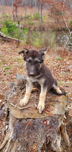 Nia - female CKC German Shepherd pup for sale at Fayetteville, Georgia