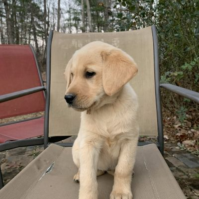 Ruby - female pup AKC Labrador Retriever for sale at Rocky Mount, Virginia