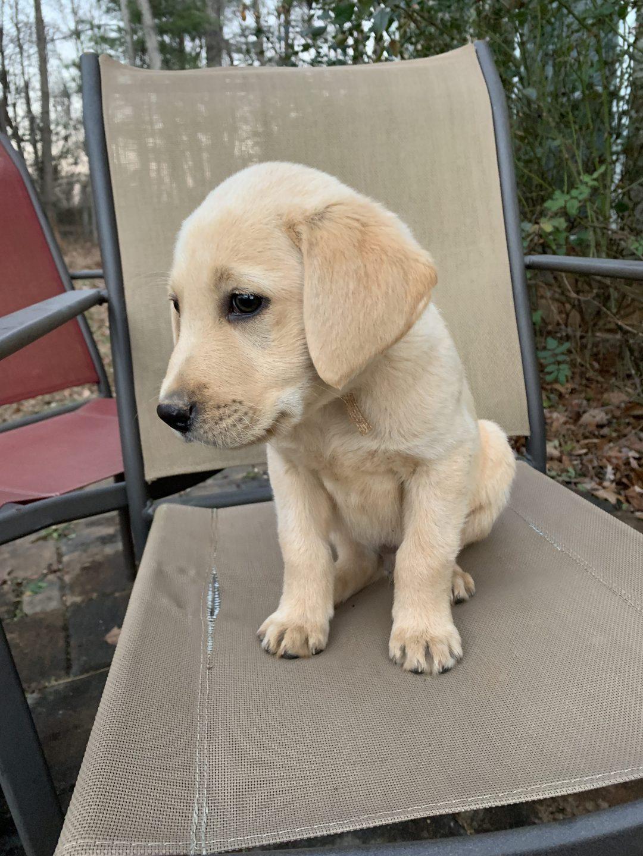 Rover - pupper AKC Labrador retriever for sale in Rocky mount, North Carolina