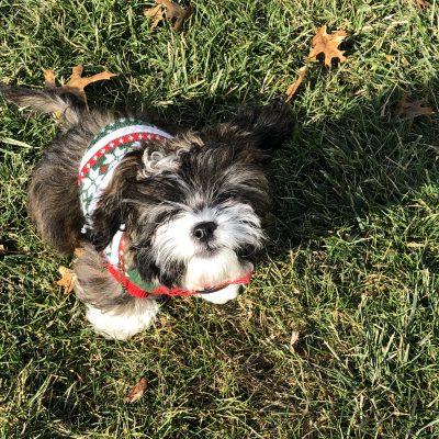 Luka - Shih Tzu doggie for sale in Fishers, Indiana